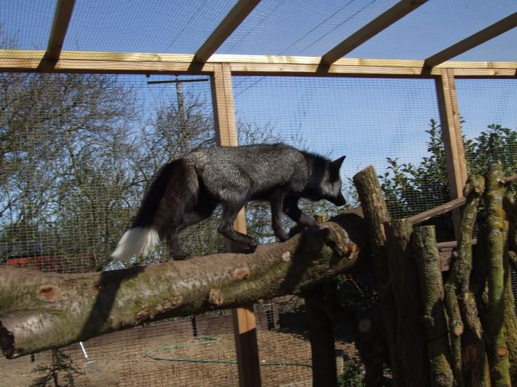 Silver Fox Enrichment