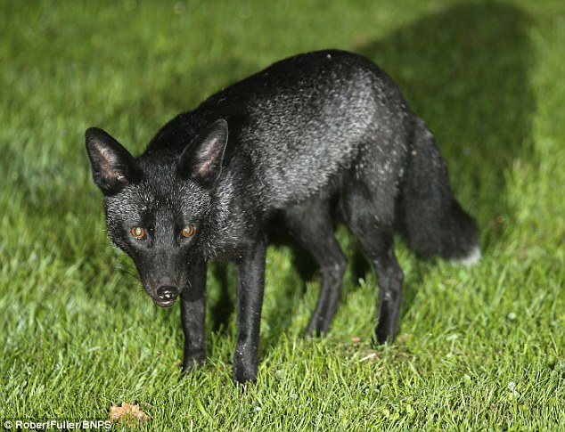 ani black fox фото