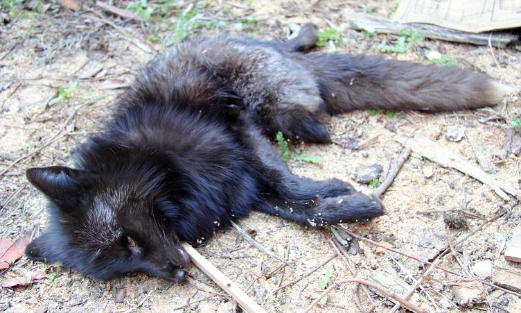 Black Fox Killed in RTA