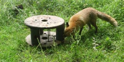 Wolf Park - Fox Enrichment
