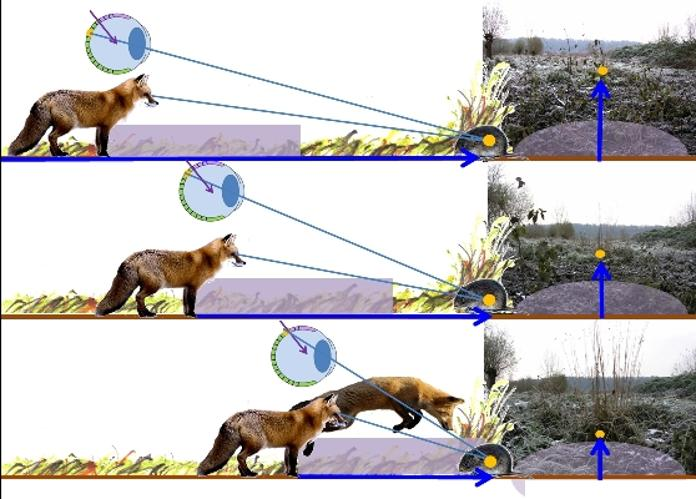 Fox Mousing Principle