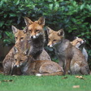 A Family of Foxes © Laurent Geslin