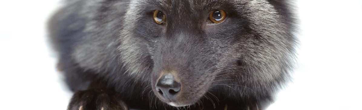 Black Foxes UK